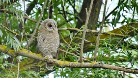 Tawny Owl Strix aluco. The Tawny Owl or Brown Owl Strix aluco is a stocky, medium-sized owl commonly found in woodlands across much of Eurasia. Its underparts royalty free stock photo