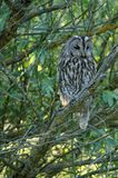 Tawny Owl Strix aluco. The Tawny Owl or Brown Owl Strix aluco is a stocky, medium-sized owl commonly found in woodlands across much of Eurasia. Its underparts stock photography