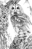 Tawny owl Strix aluco close-up portrait over a tree in the for. Est in its natural habitat stock photo