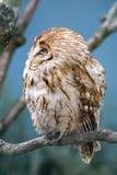 Tawny Owl (Strix aluco). Falling asleep stock photo