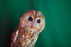 Tawny owl, Strix aluco. Tawny owl on fence post against a green background. Tawny owl, Strix aluco stock image