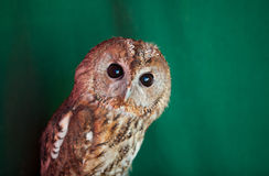 Tawny owl, Strix aluco Royalty Free Stock Images