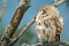 Tawny Owl (Strix aluco). Half asleep stock image