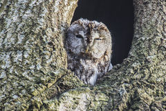 Tawny owl (Strix aluco). Image is shot in Refnewoods in Halden, Norway and shows a Tawny owl in a hole in a birch tree stock photos