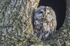 Tawny owl (Strix aluco). Image is shot in Refnewoods in Halden, Norway and shows a Tawny owl in a hole in a birch tree royalty free stock photos