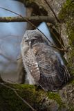 Tawny Owl - Strix aluco - juvenile. Just out from the nest. Vilnius, Lithuania stock photography