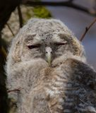 Tawny Owl - Strix aluco - juvenile. Just out from the nest. Vilnius, Lithuania royalty free stock image