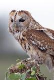 Tawny Owl (Strix Aluco) Royalty Free Stock Images