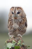 Tawny Owl (Strix Aluco) Royalty Free Stock Photo