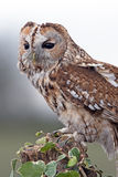Tawny Owl (Strix Aluco) Royalty Free Stock Photos