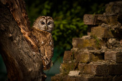 Tawny Owl. A Tawny Owl (Strix aluco), perched in an old tree in a farm yard Stock Photos