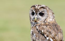 Tawny owl, strix aluco. Royalty Free Stock Image
