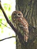 Tawny Owl (Strix aluco). Tawny Owl resting in its natural habitat stock image
