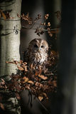 Tawny owl, Strix aluco, Royalty Free Stock Images