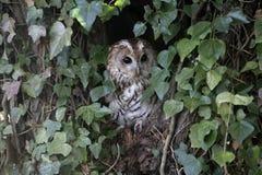 Tawny owl, Strix aluco,. Single bird on branch stock image