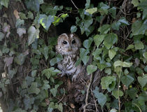 Tawny owl, Strix aluco, Stock Photo