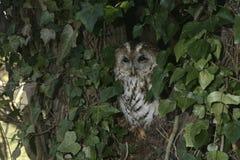 Tawny owl, Strix aluco, Stock Image