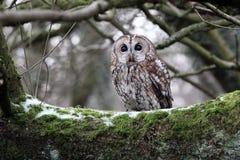Tawny owl, Strix aluco. Single bird on branch, captive bird in Gloucestershire, winter 2010 royalty free stock photography