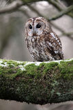 Tawny owl, Strix aluco Stock Photo