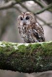 Tawny owl, Strix aluco. Single bird on branch, captive bird in Gloucestershire, winter 2010 stock photo