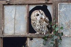 Tawny owl, Strix aluco Royalty Free Stock Photos