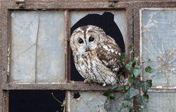 Tawny owl, Strix aluco Royalty Free Stock Photo