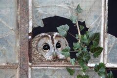 Tawny owl, Strix aluco. Single bird in old iron and glass window, captive bird in Gloucestershire, winter 2010 stock photos