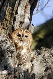 Tawny owl, Strix aluco Stock Image
