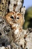 Tawny owl, Strix aluco Royalty Free Stock Image