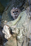 Tawny owl, Strix aluco Stock Photography