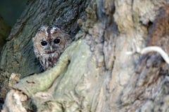 Tawny owl, Strix aluco Stock Images