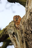 Tawny owl, Strix aluco Royalty Free Stock Photography
