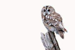 Tawny owl, Strix aluco. Single bird on stump, captive bird in Gloucestershire, winter 2010 royalty free stock photo