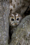 Tawny owl, Strix aluco. Single bird in tree stock images