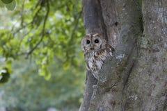 Tawny owl, Strix aluco. Single bird in tree royalty free stock photo