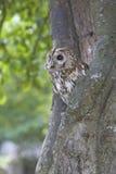 Tawny owl, Strix aluco Stock Photos