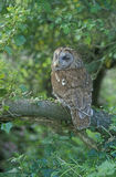 Tawny owl, Strix aluco Stock Images