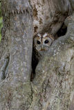 Tawny owl, Strix aluco Stock Photos