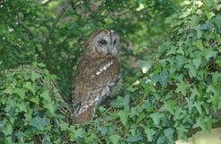 Tawny owl, Strix aluco. Single bird in tree royalty free stock photos