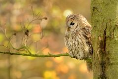 Tawny Owl (Strix aluco). Sitting on the branch in autumn royalty free stock image