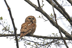 Tawny Owl (Strix aluco). Tawny Owl sitting in a tree resting stock images