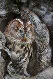 Tawny Owl. Strix aluco,Sleeping in a hole in a large tree royalty free stock photo