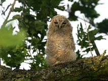 Tawny owl, Strix aluco. Single young bird in tree, Warwickshire, May 2018 stock photography