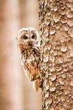 Tawny Owl Strix aluco. Tawny Owl or Strix aluco on the tree stock photography