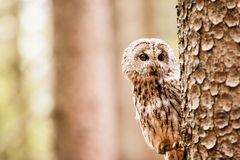 Tawny Owl Strix aluco Royalty Free Stock Photography