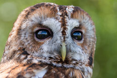 Tawny Owl. Strix aluco. Watching royalty free stock images