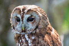 Tawny Owl. Strix aluco. Watching royalty free stock photo
