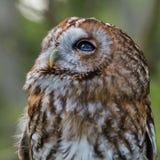 Tawny Owl. Strix aluco. Watching royalty free stock photography