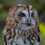 Tawny Owl. Strix aluco. Watching for prey royalty free stock image