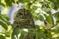 Tawny owl (Strix aluco) winking a eye. Closeup portrait of a tawny owl or brown owl (Strix aluco), winking his eye. These owls are commonly found in woodlands royalty free stock photography
